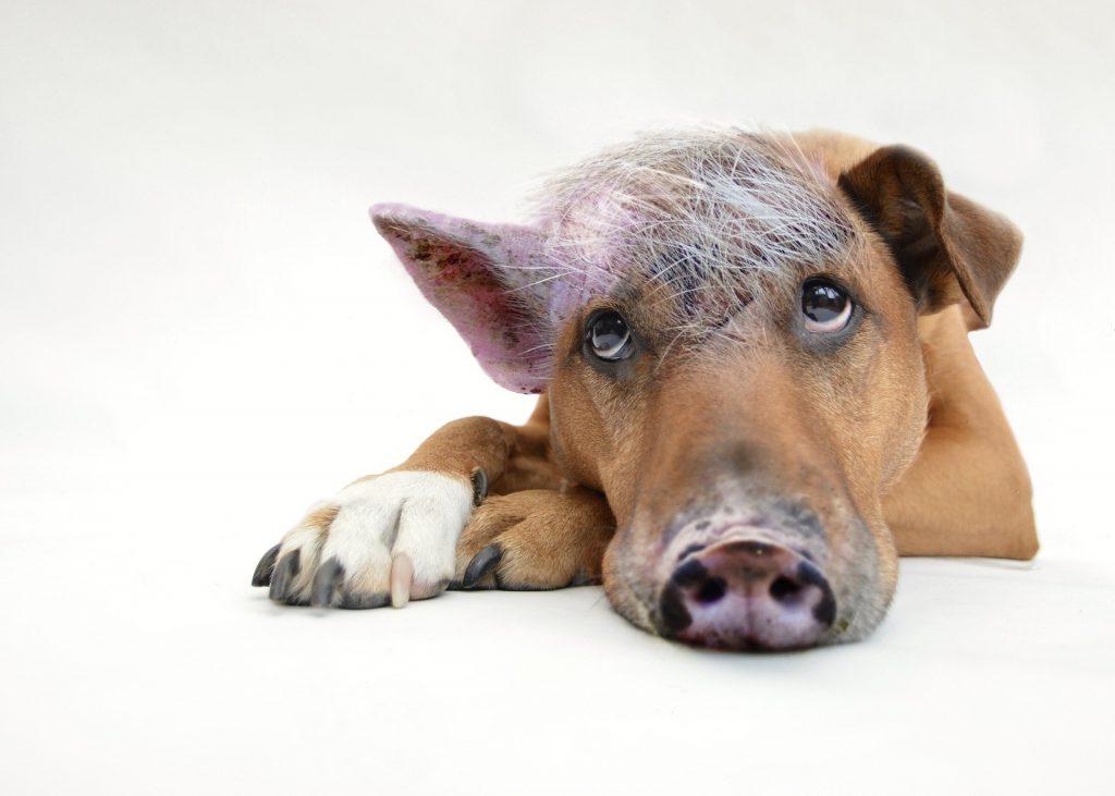 Mischung aus Schwein und Hund faulenzt