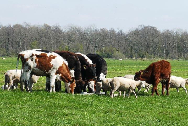Kühe und Schafe gemeinsam auf einer Weide