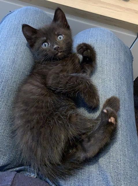 Junge schwarze Katze mit blauen Augen, die auf den Oberschenkeln liegt.