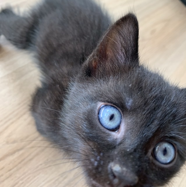 Junge schwarze Katze mit blauen Augen, die neugierig nah in die Kamera schaut