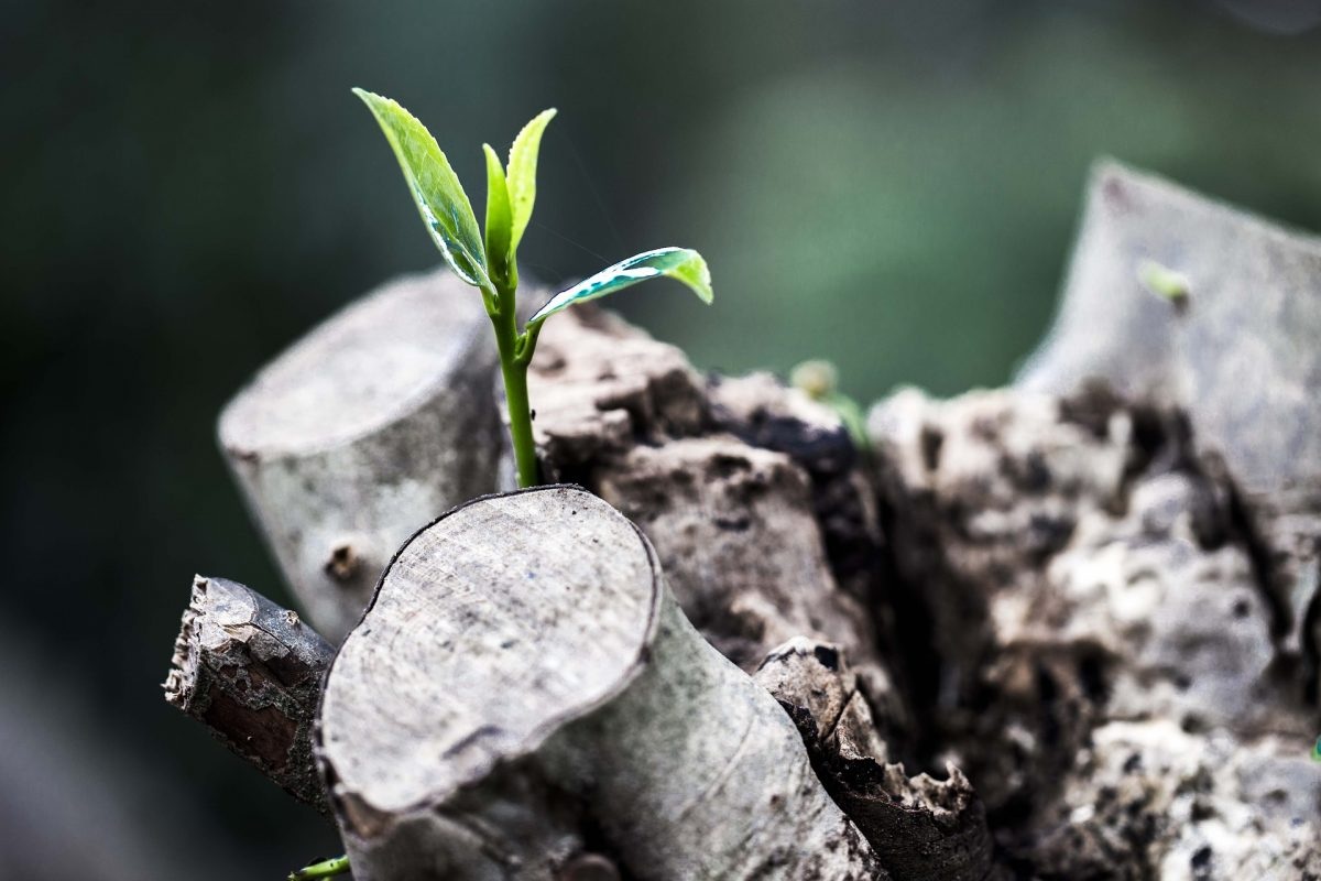 Zwischen grauen Baumstümpfen wächst ein Pflanzenspross
