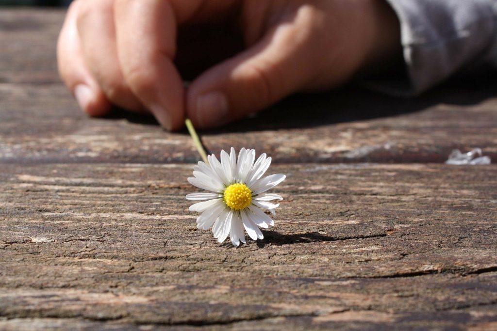 Kinderhand hält ein Gänseblümchen auf einem Holzuntergrund